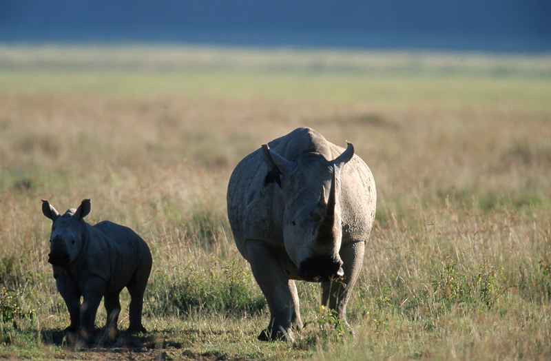 Rhino mother and baby, Ngorongoro Crater